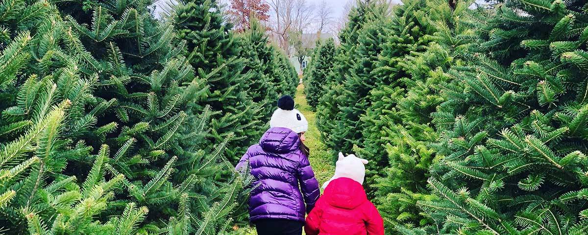 cutting your own christmas trees in brantford
